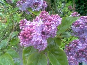 lilac flowers , postaday