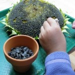 edible seeds-sunflower seeds