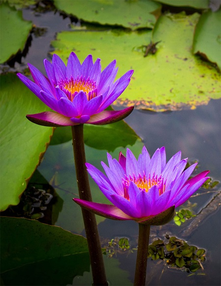 blue lotus extract